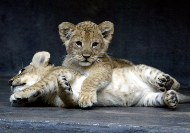 Two eight-week-old African lion cubs play together after being put on public display for the first time...