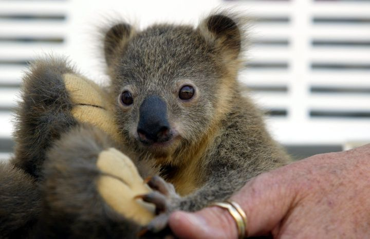 Koori, a tiny baby koala bear hangs on to a stuffed wombat toy at Taronga Park Zoo in 2004.