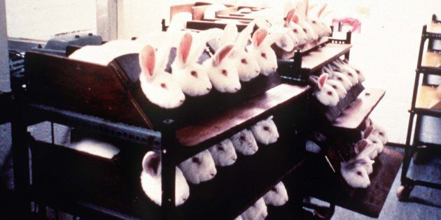 Rabbits held in stocks during eye irritancy tests for