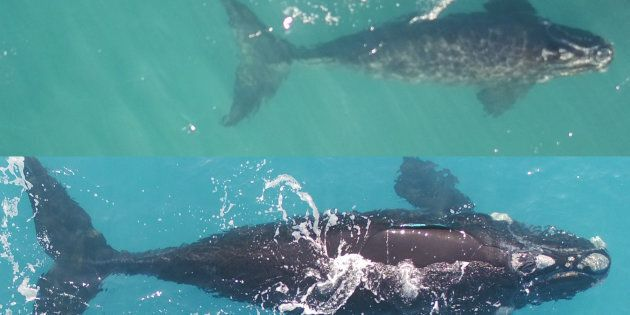 For the first time southern right whales have been snapped by