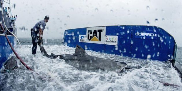 Maroochy the tiger shark is tagged by OCEARCH crew in