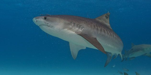 A tiger shark with a satellite tag on its dorsal