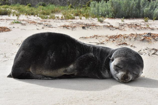 Baby Sub-Antarctic Fur Seal Spotted Having A Snooze On The