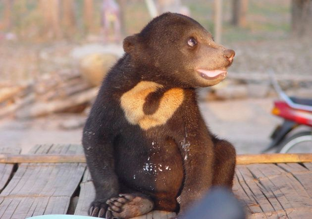 Due to their size, sun bears are often used in illegal pet trade.