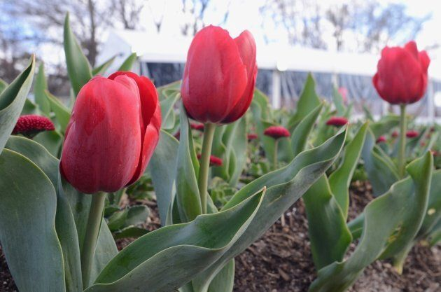 Over one million bulbs and annuals have been planted. Over 100 species of tulips.
