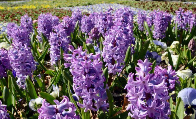 The hyacinths are blooming.