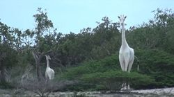 Rare White Giraffes Spotted In