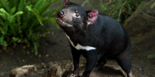 Tasmanian devils have been afflicted by a contagious, lethal face