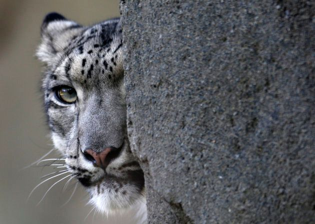 Still not safe -- poaching and the hunting of the snow leopard's prey is still a threat to the elegant cats.