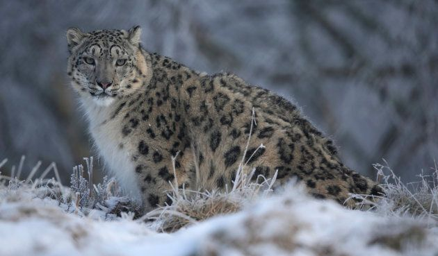 Because they don't hang out in groups, there's no word for a group of snow leopards.