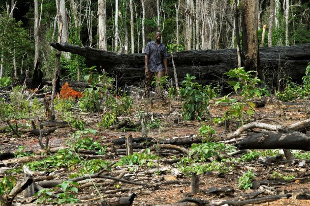 Ivory Coast's forest management authority has been clearing illegal cocoa plantations.