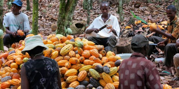 Cocoa farmers have moved into parks and