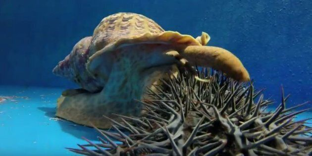 A triton sea snail eating a crown of thorns starfish