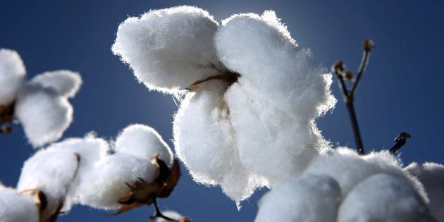 Is this cotton GM? You'll never