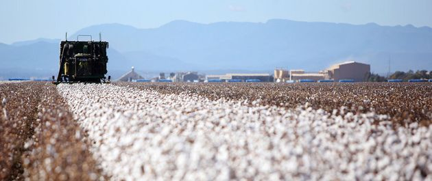 You can't tell but this cotton being harvested in Narrabri, NSW is
