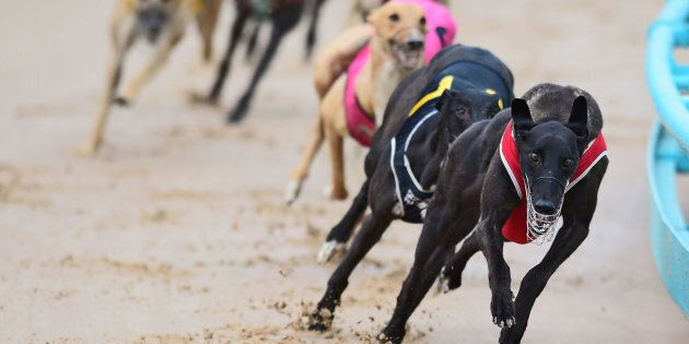 Australian greyhounds deemed too slow for racing in Australia face abhorrent conditions in Macau.