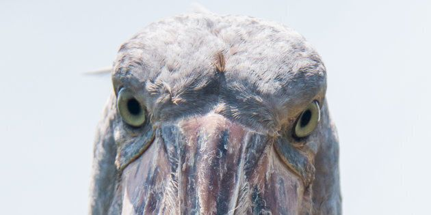 The Shoebill Stork, currently classified as vulnerable to extinction, lives on the world's second-largest freshwater lake.