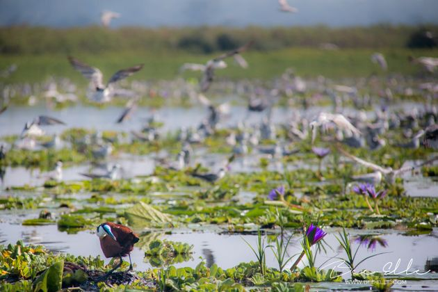 Lake Victoria, home to hundreds of species of birds, amphibians, reptiles and mammals and fish, is under