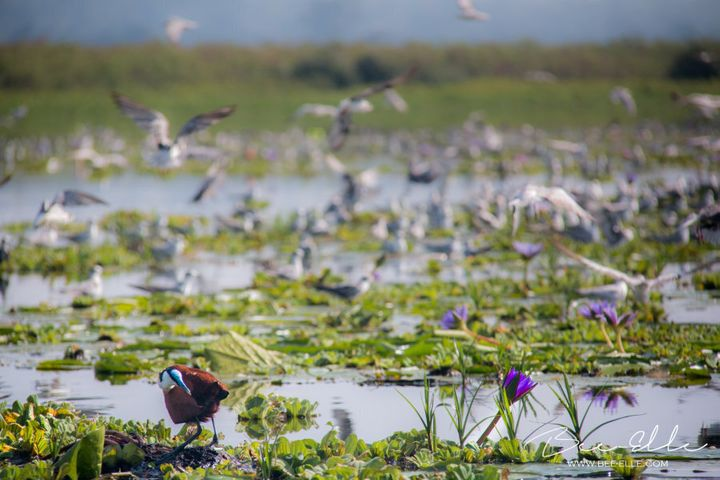 Lake Victoria, home to hundreds of species of birds, amphibians, reptiles and mammals and fish, is under threat.