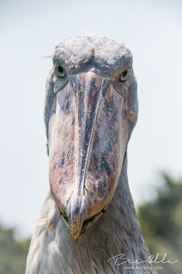 The Shoebill Stork, currently classified as vulnerable to extinction. Their preferred diet of lungfish...