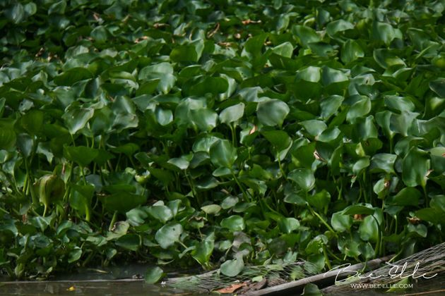 Deoxygenation of Lake Victoria, caused by an overgrowth of water hyacinth from pollution, is suffocating...