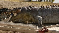 Queensland Police Hunt Down Crocodile