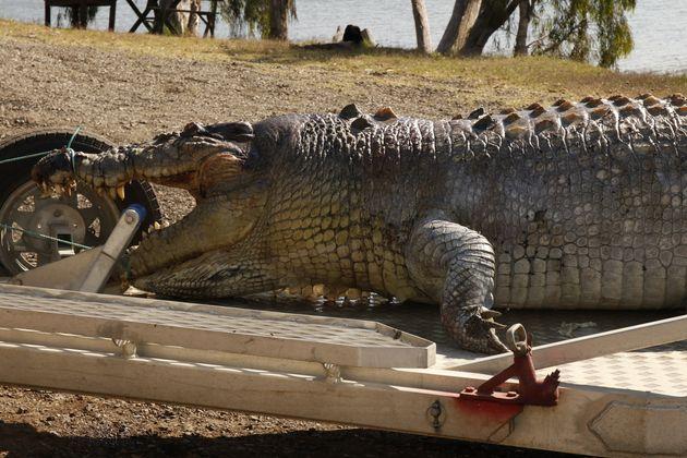 Queensland Police Hunt Down Crocodile