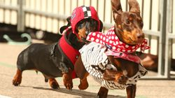 Sausage Dogs Dash For Cash In Melbourne For