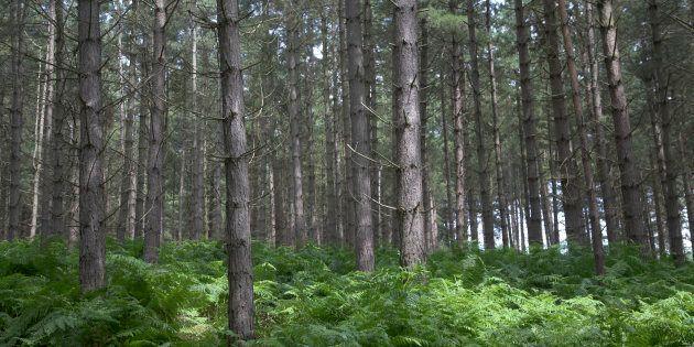 Rendlesham forest, Suffolk,