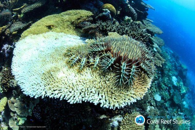 Crown of thornes sea stars munch on surviving