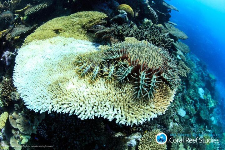 Crown of thornes sea stars munch on surviving coral.