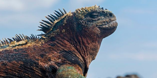 This Rare Marine Iguana Fires Snot Rockets When It