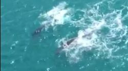 Watch This Whale And Calf Playing Off The NSW