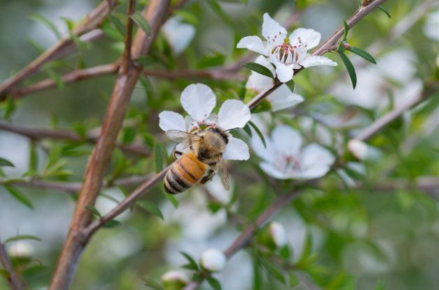 A honey bee on the manuka flower collecting pollen and nectar.