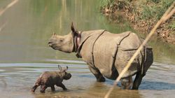 This Baby Nepalese Rhino Is A Triumph In The War Against