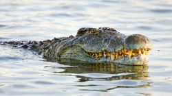 Crocodile Feeding Frenzy On Huge Kimberley Whale