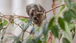 Oh, Rats! Big Tree-Dwelling Rodent Found In Solomon