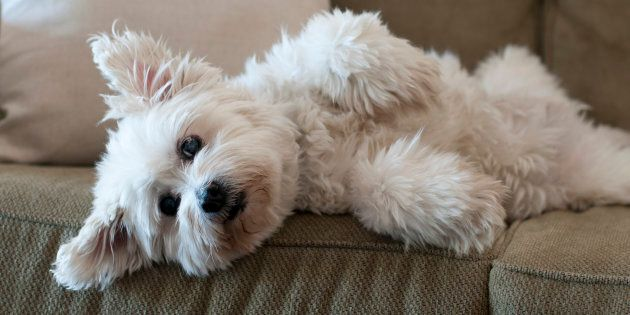Fluffy white dog laying on