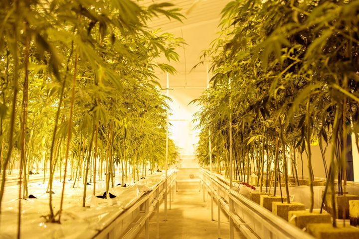 Cannabis plants growing inside a facility in New York state, U.S.A. Lawmakers voted in 2014 to legalise marijuana for medical use, and the law took effect in January 2016. Currently, just five companies are allowed to grow and sell the drug for medical use in the state.