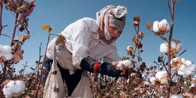 An Uzbek woman picks up cotton in a field outside Tashkent September 24. The harvest is in full swing...