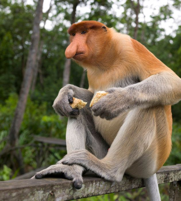 The endangered proboscis monkey is endemic to Borneo.