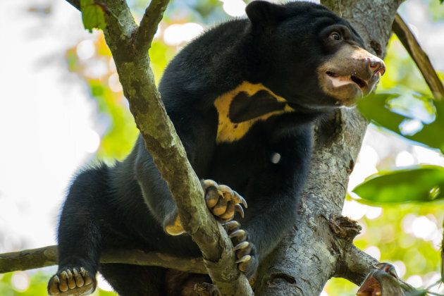 The sun bear is classified as Vulnerable because of habitat loss which caused a 30% decrease in the global population over the last 3 bear generations.