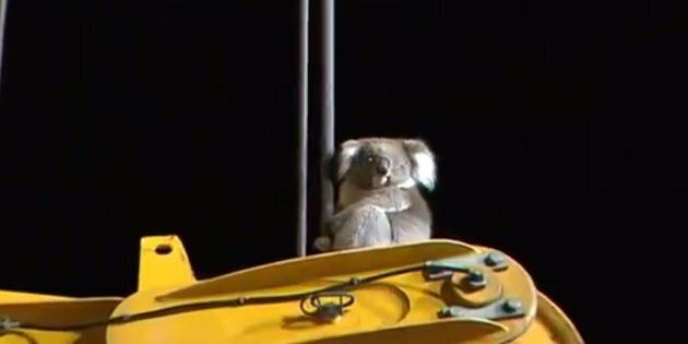 Inquisitive Koala Rescued After Climbing A Large Drill In