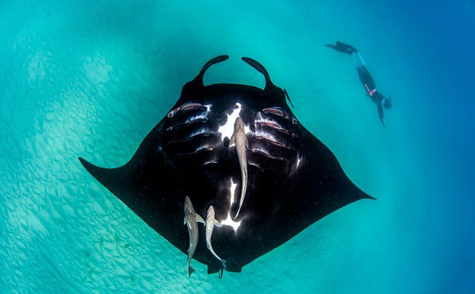 Manta rays cruise through Coral Bay.