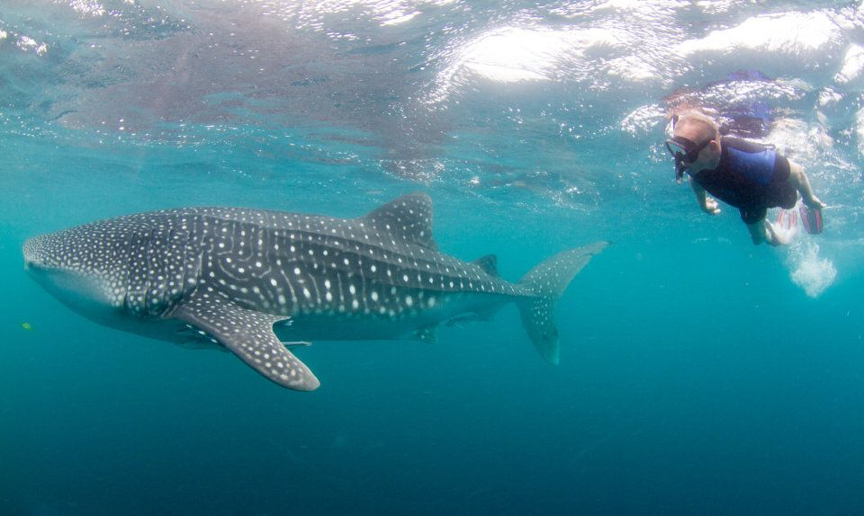 Swim with whale sharks in Ningaloo Reef.