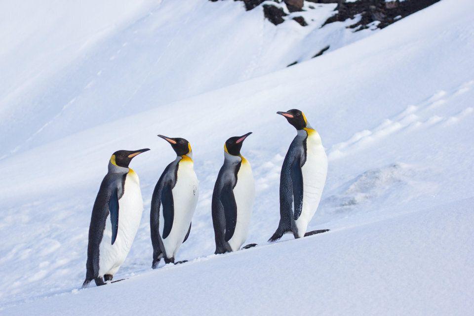 King Penguins contemplating the snow on Heard Island, Antarctica.