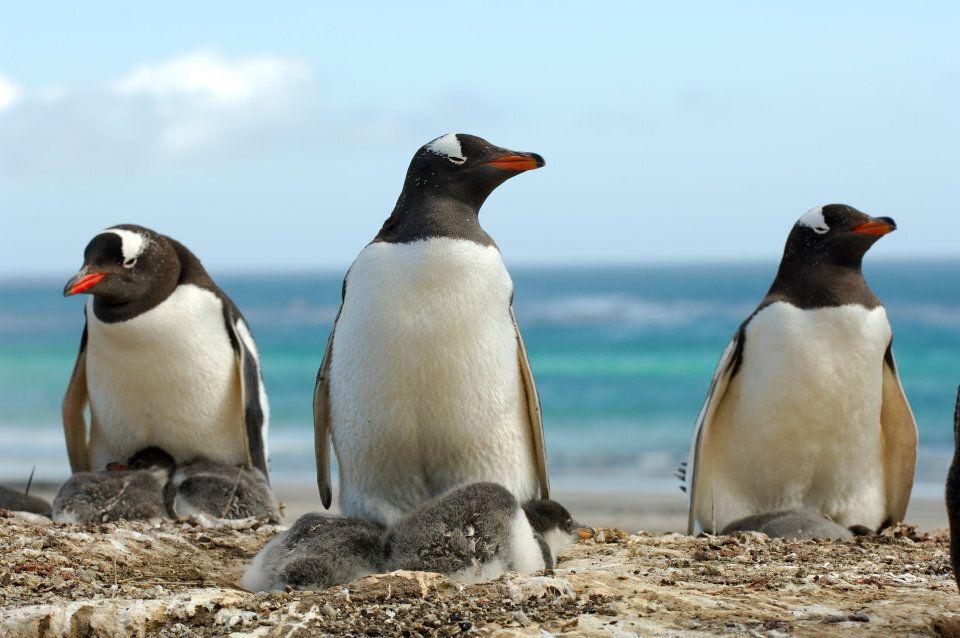 A different kind of Aussie beach chick on Heard Island.