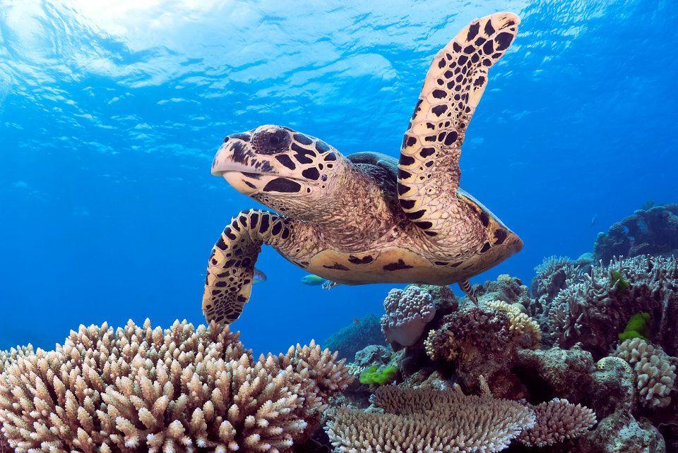 A Hawksbill Sea Turtle on the Great Barrier Reef.