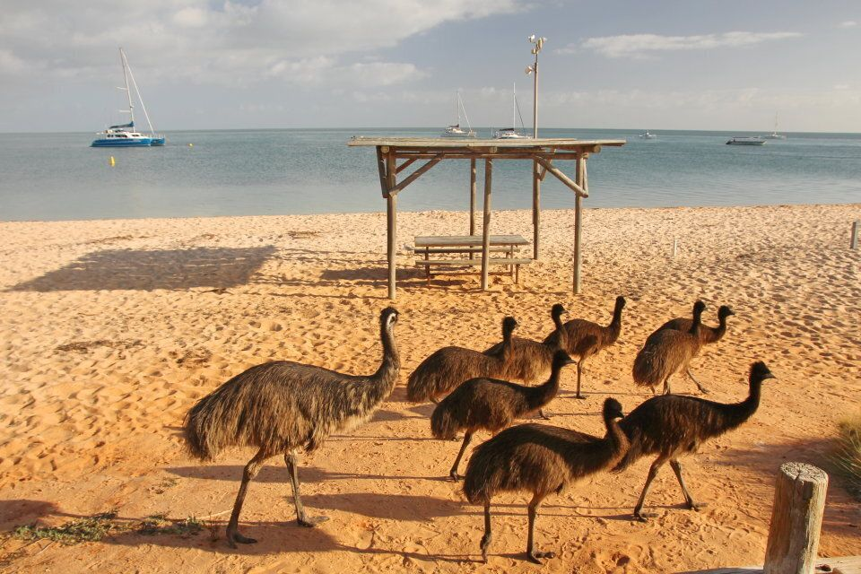 Emus on the beach at Shark