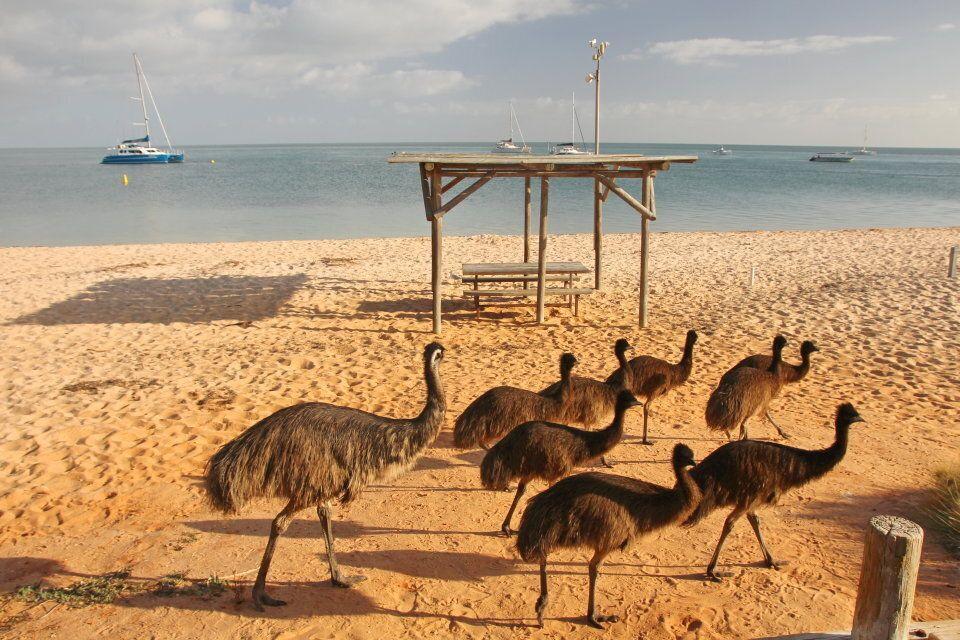 Emus on the beach at Shark Bay.